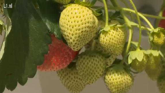 Aardbei booming in Limburg